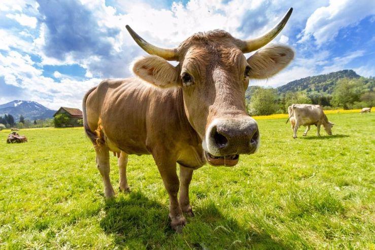 vaca kosher